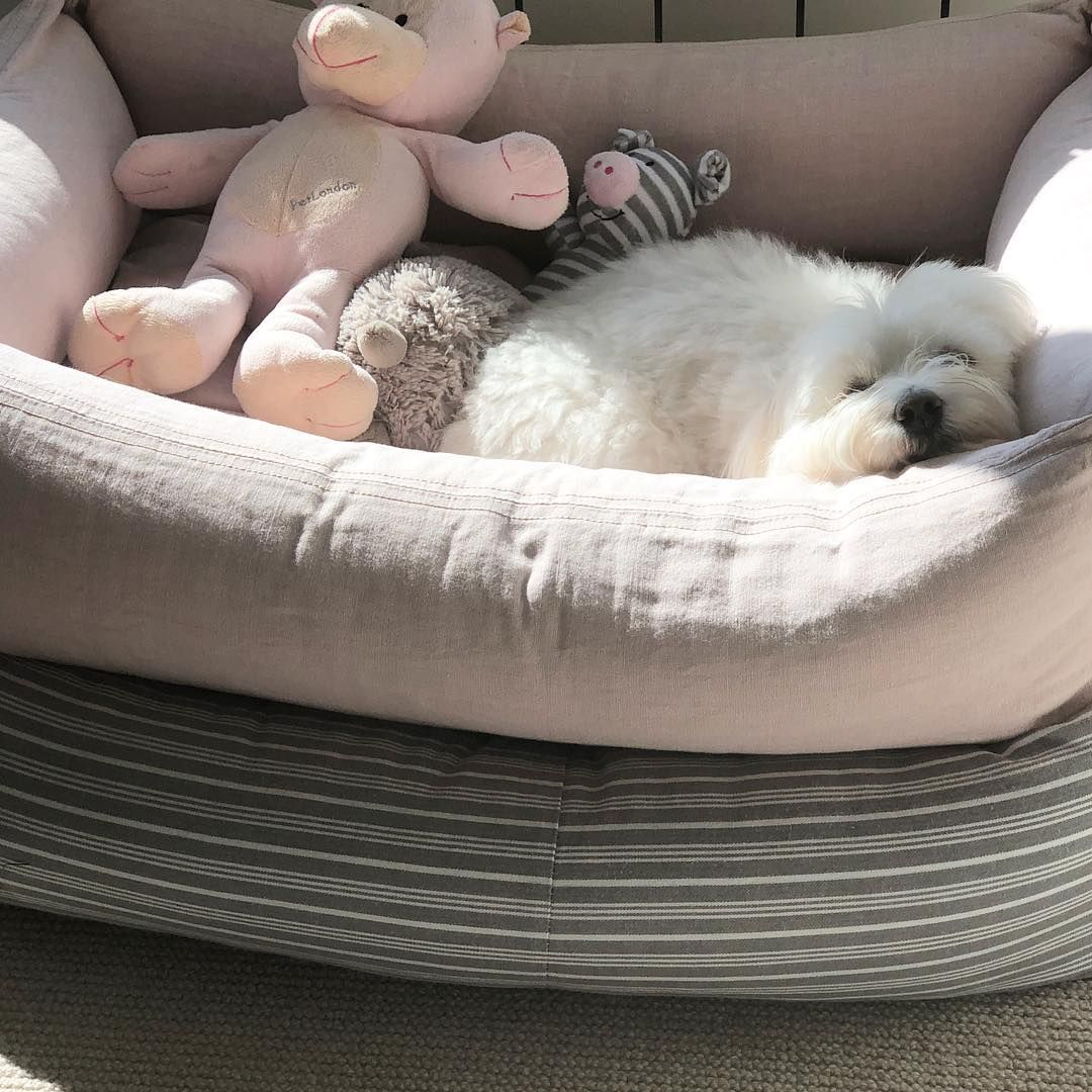 """Coton de Tulear on Instagram: """"Having an afternoon snooze in my ..."""