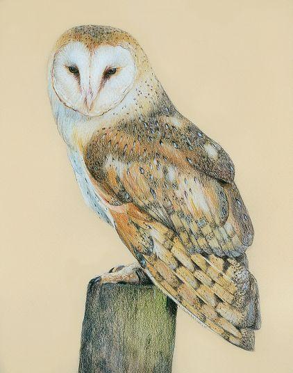 Barn Owl coloured pencil drawing, by katrina ann, UK ...