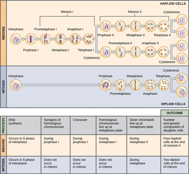 A diagram showing the differences between meiosis and mitosis image a diagram showing the differences between meiosis and mitosis image from openstax college ccuart Choice Image