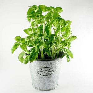 How To Trim A Basil Plant Thumbnail Basil Plant Natural