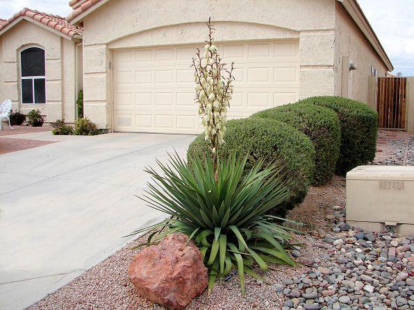 Soft Leaf Yucca, Yucca recurvifolia. Xeriscape Landscape Plants ...