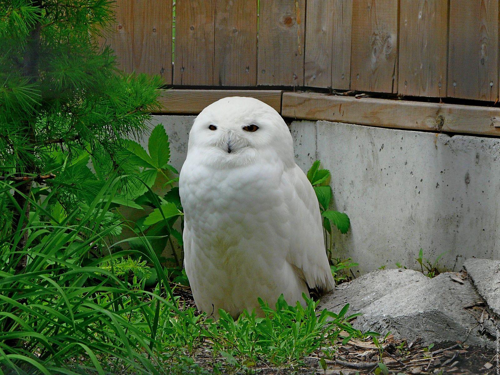Oiseau harfang p1110267 1