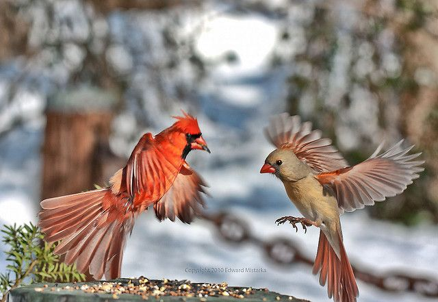 Male And Female Cardinal In Flight 5321 Maple Tree Tattoos