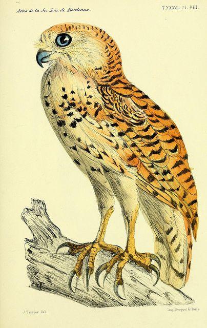 Illustration from Faune de la Senegambie, by O. Doin, 1883-1887.