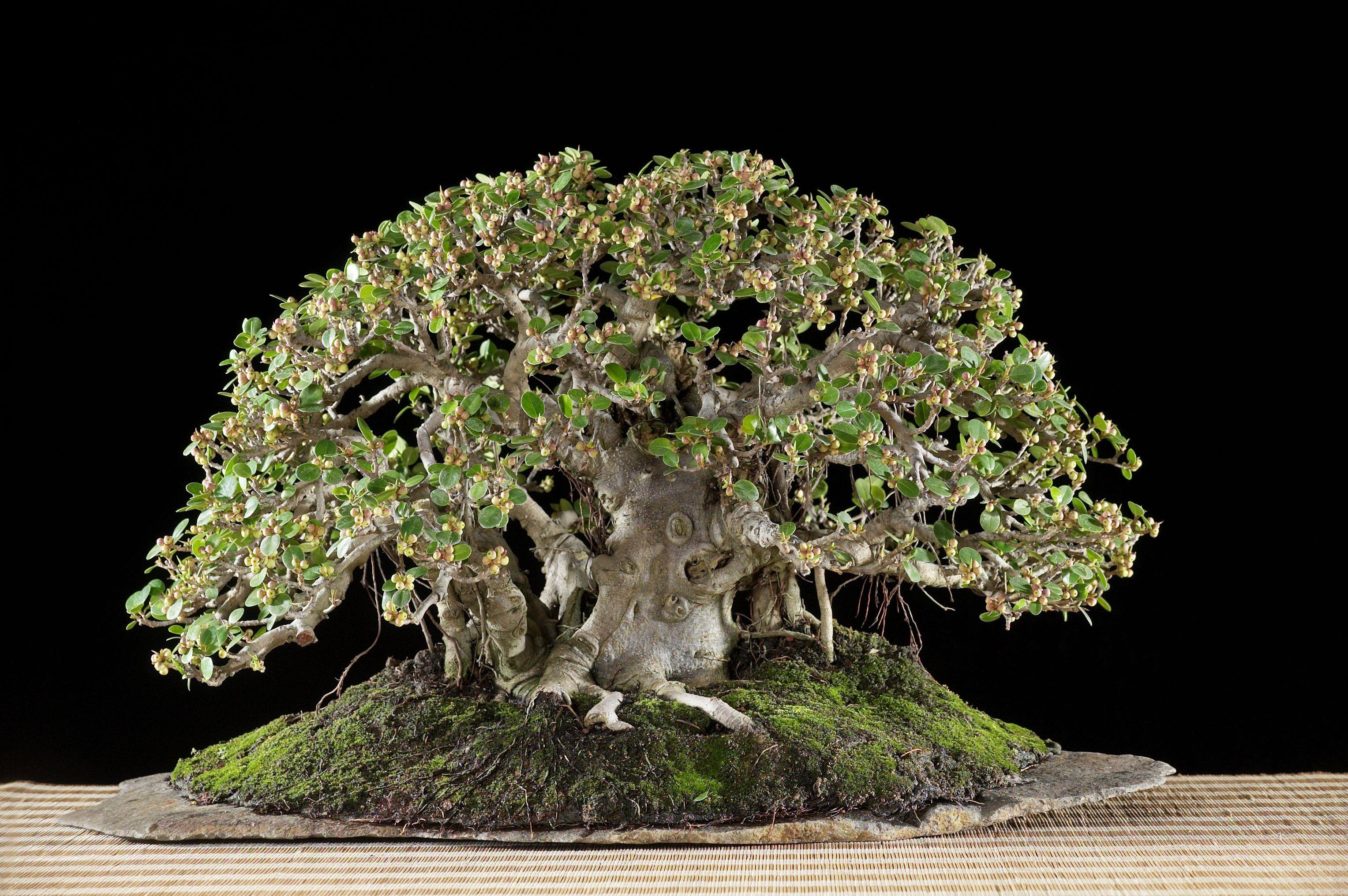 I love this Green island Ficus bonsai.