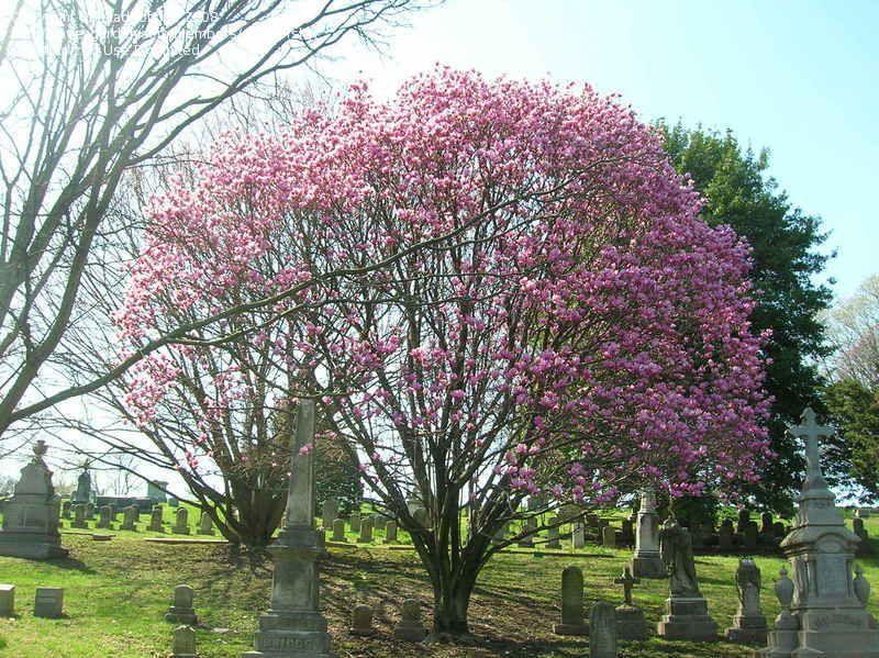 Saucer Magnolia City Tree Park Landscape Garden Design