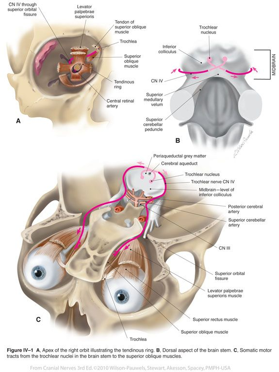 Trochlear Iv Cranial Nerves Health Pinterest Cranial Nerves