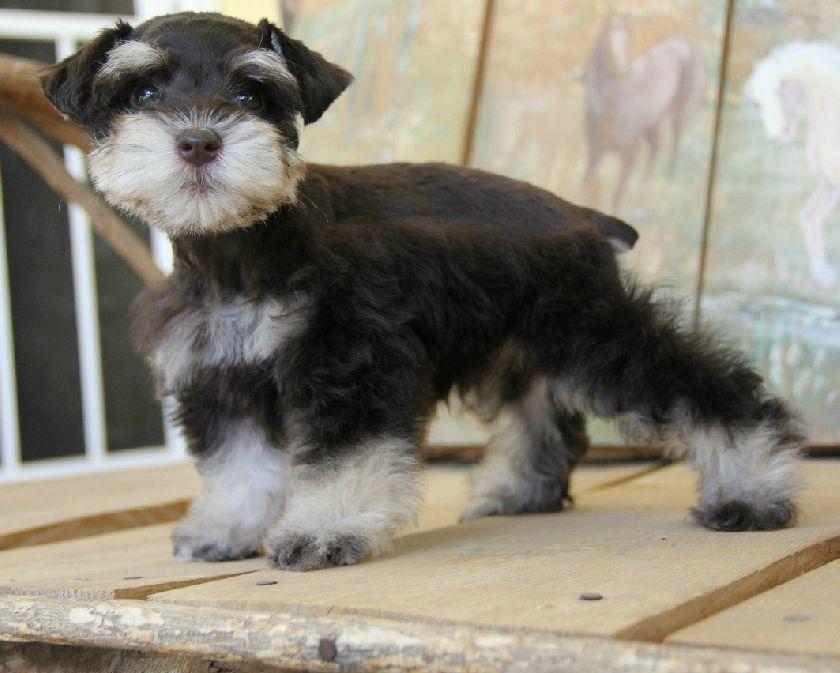 Chocolate And Tan Miniature Schnauzer Puppy Www Chapmanschnauzers