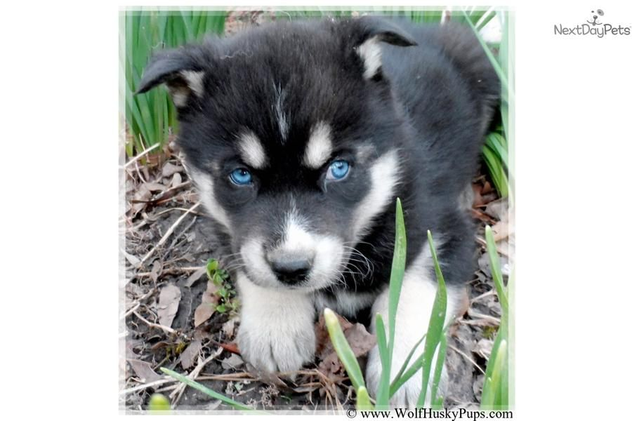 Wolf Hybrid Blue Eyes Wolf Hybrid Puppy For Sale Near Las Vegas