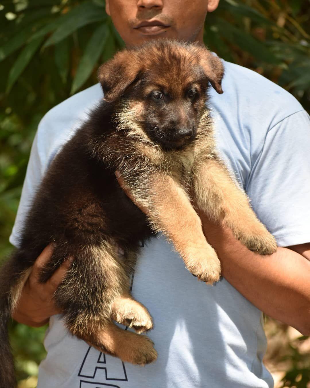 German Shepherd Puppy In 2020 German Shepherd Puppies Shepherd