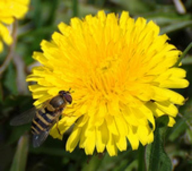 5 Surprising Things You Can Make With Ordinary Dandelions With Images Dandelion Dandelion Flower Flower Pots