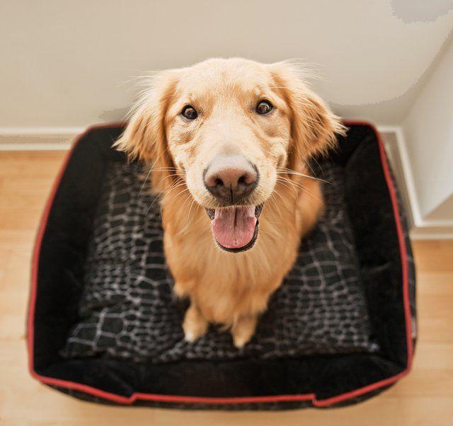 Kalahari Lounge Bed American Pitbull Puppies Dog Milk Golden Retriever