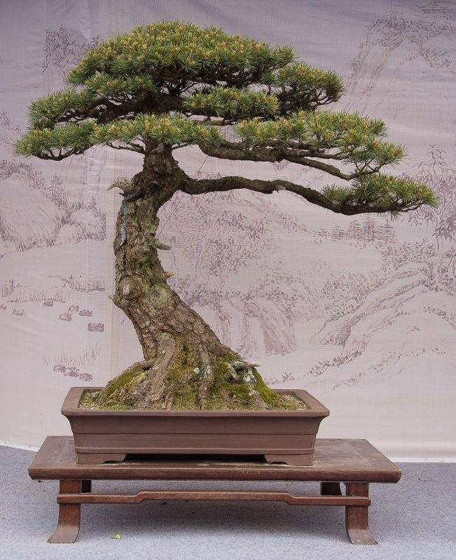 bonsai bonsai pinterest kleine b ume die kleinen und baum. Black Bedroom Furniture Sets. Home Design Ideas