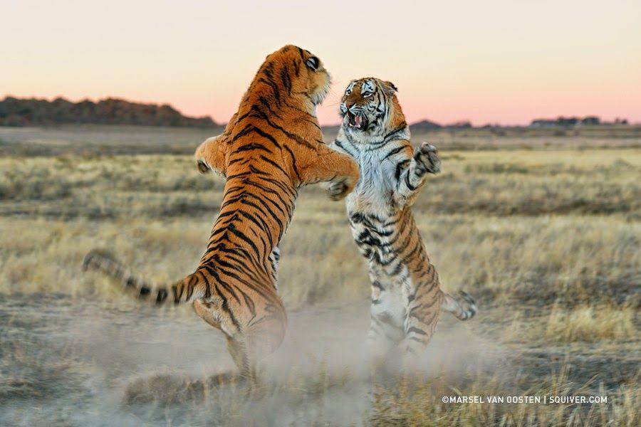 Artist Marsel Van Oosten Work Wildlife Photography