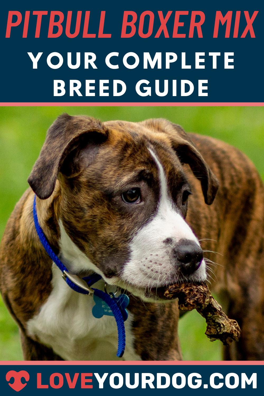 Pitbull Boxer Mix Breed Information Personality Puppies More In 2020 Pitbull Boxer Mix Pitbull Mix Boxer Mix