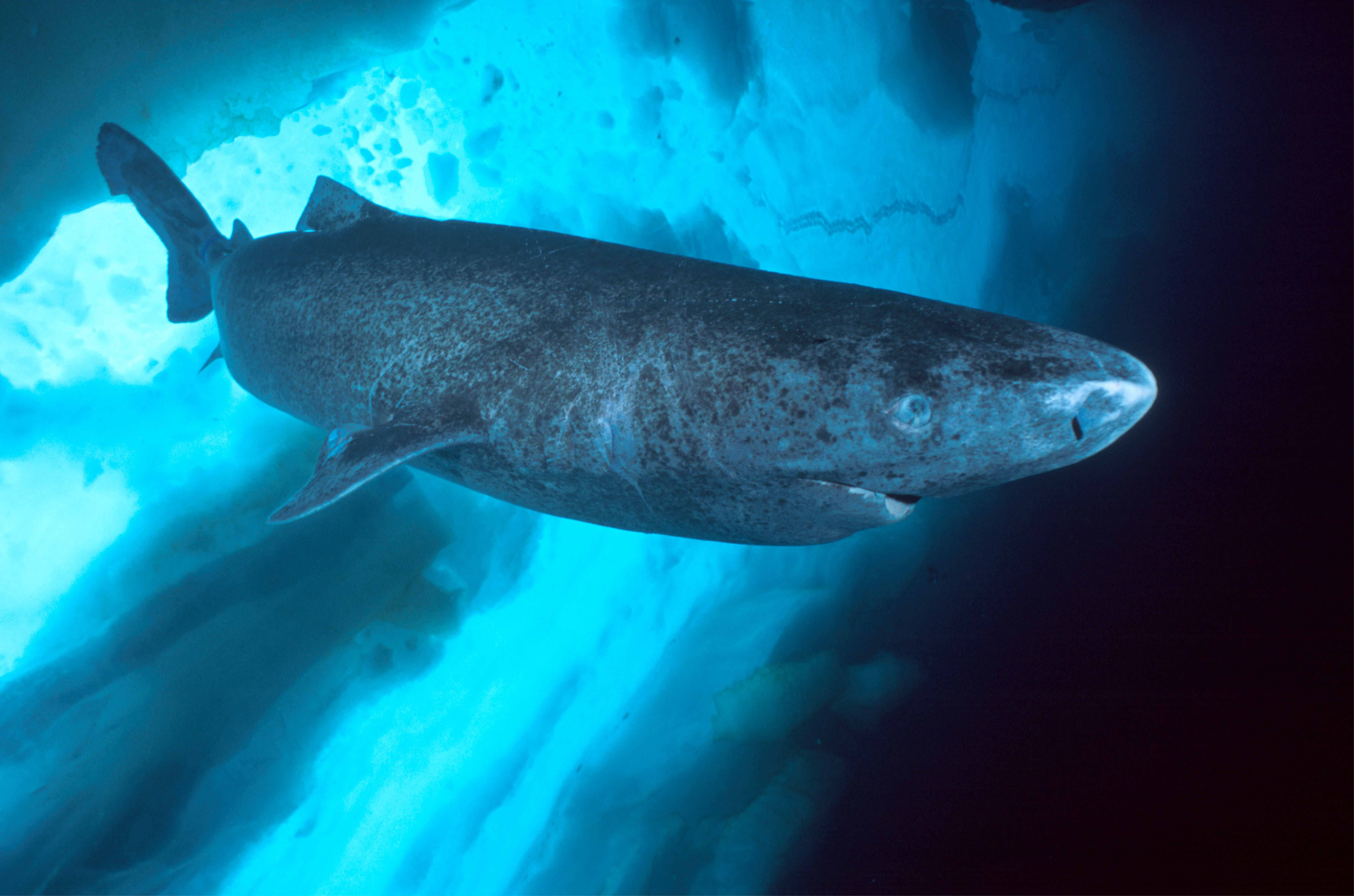 17 best ideas about greenland shark octopuses 17 best ideas about greenland shark octopuses whale sharks and water animals