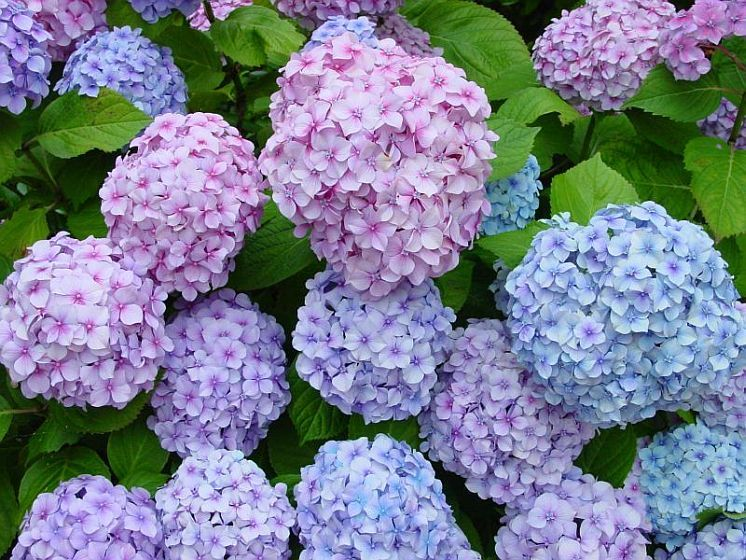 With Exceptionally Large Flowers In Pink Or Blue Make Big Daddy