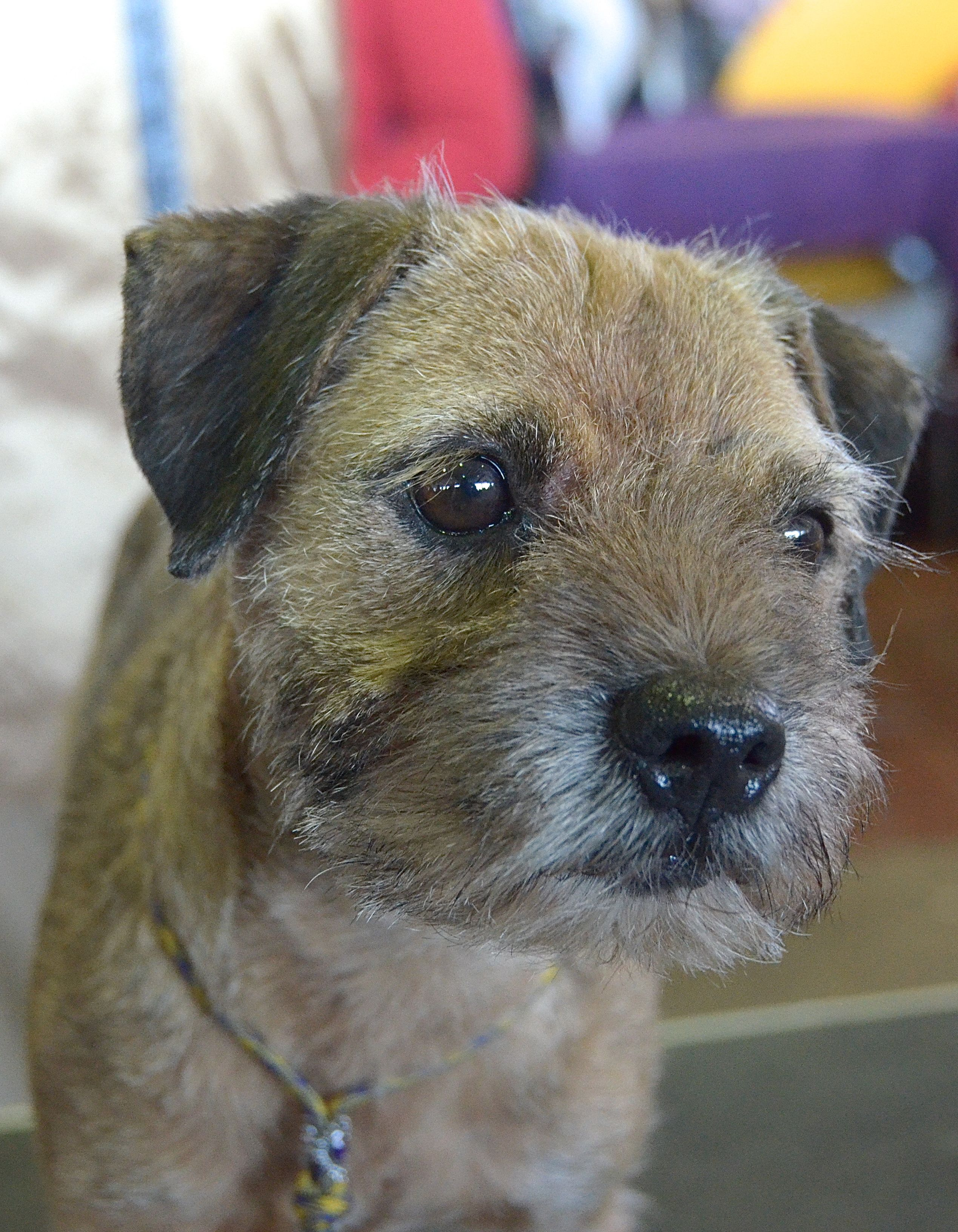 Nettie The Border Terrier Westminster Kennel Club Dog Show 2014
