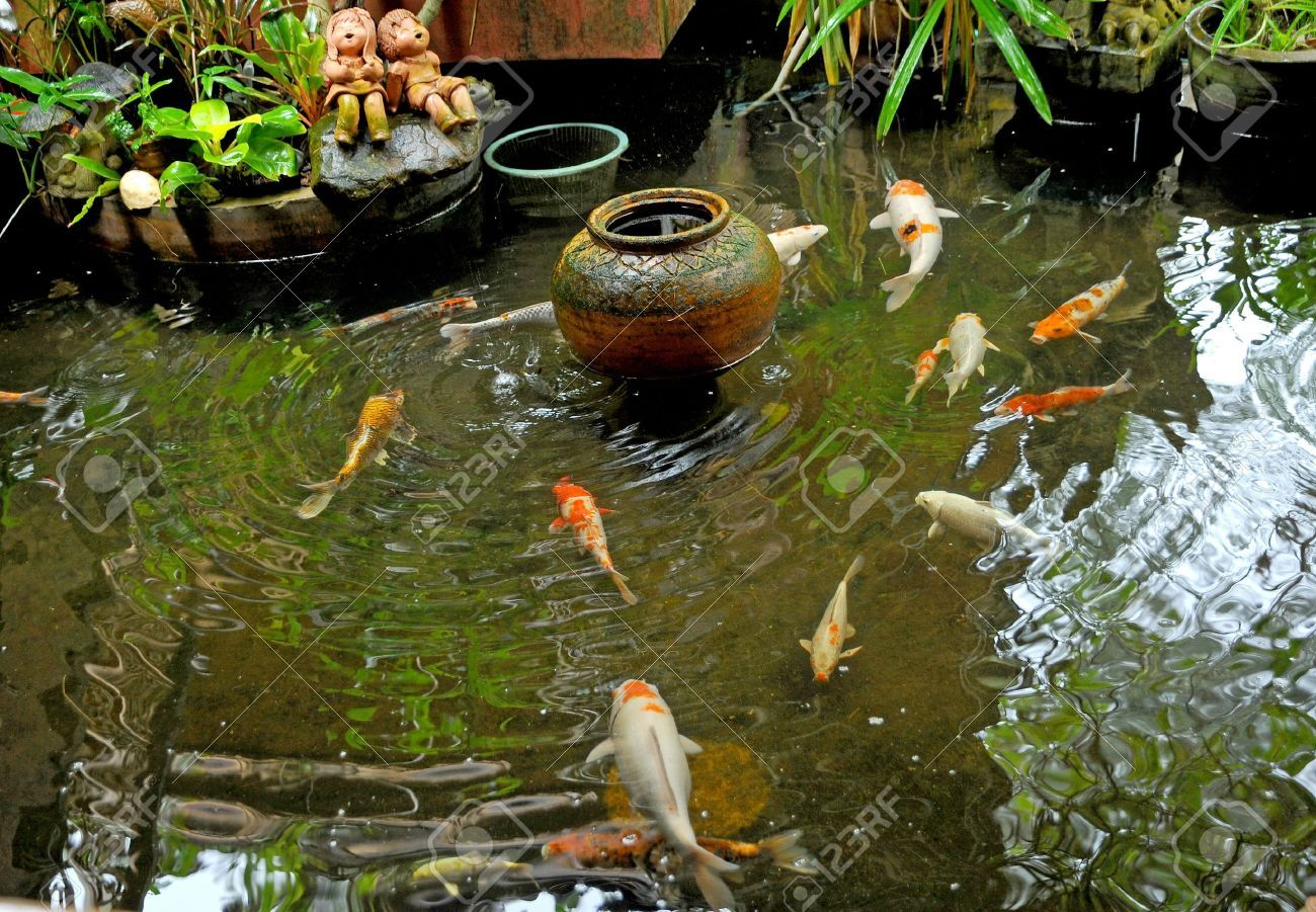 koi fishes in japanese garden stock photo picture and royalty - Japanese Koi Garden