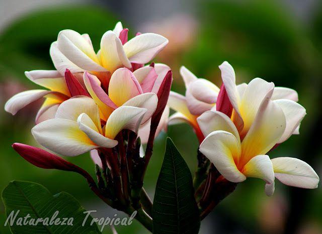 Las plantas del g nero plumeria son muy utilizadas como for Especies de plantas ornamentales