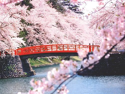 Cherry Blossom Bridge Sakura Japan