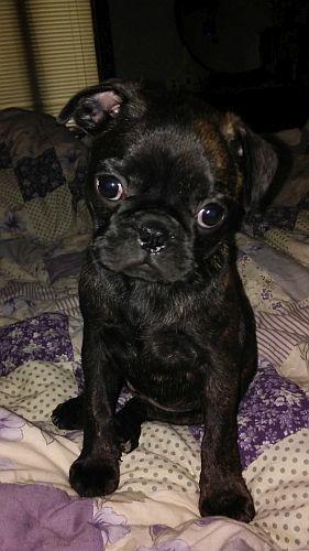Adopt Poppyseed On Pugs Dogs Adoption