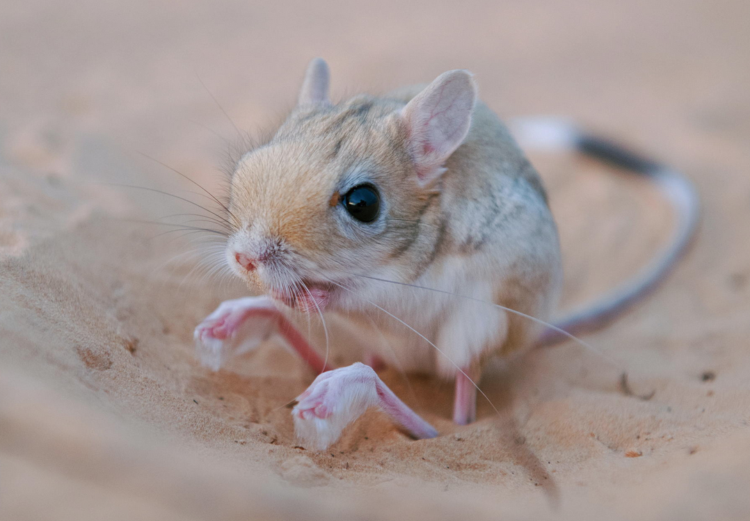 whatthefauna Jerboas are small jumping rodents