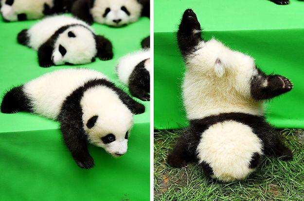 Schlechte Nachricht: Baby-Panda über Bord! - Die gute: Ihm geht's prima!