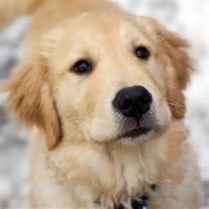 Golden Retriever Puppies For Sale Singapore The Conspriracy Retriever Puppy Golden Retriever Golden Retriever Baby