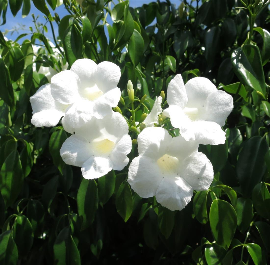 Lady Di Pandorea Jasminoides Flowers Pinterest Climbers