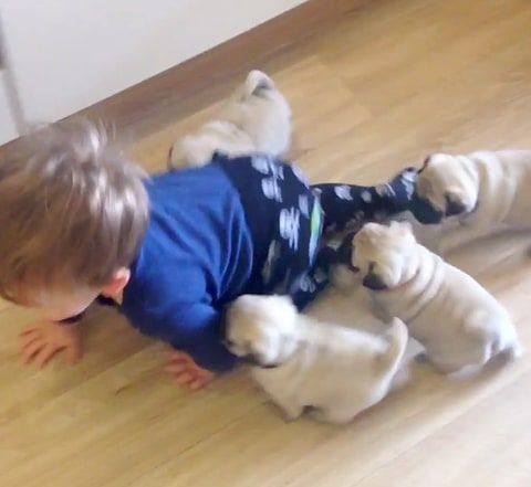 These Pug Puppies Won T Stop Following This Energetic Toddler Watch