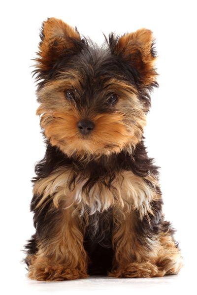 Yorkshire Terrier Yorkshire terrier puppies, Yorkshire