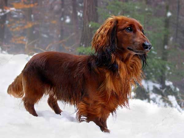 Dachshund Black And Red Long Haired Long Haired Dachshund