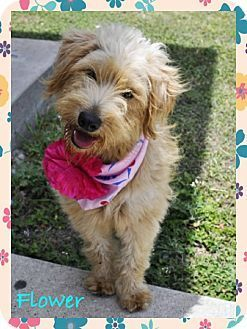 Wirehaired Fox Terrier Mix Dog For Adption In Corpus Christi