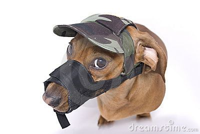 Dachshund Muzzle Angry Stock Photos