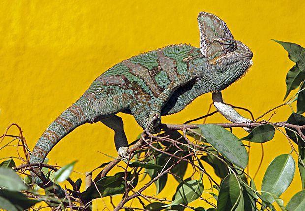 Tierischer Irrtum Farbwechsel Beim Chamaleon Farbwechsel Tierisch Tiere