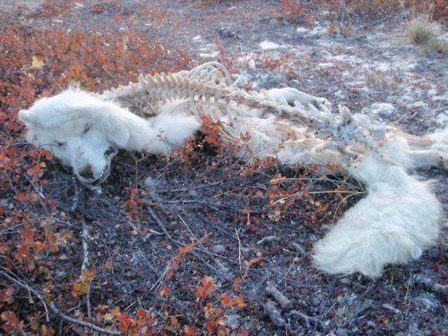 Dead Arctic Fox Skulls And Dead Home Decor Shag Rug Rugs