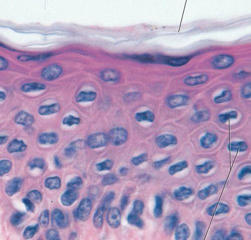 Histology Lab Photo Quiz Flashcards | Quizlet | Histology ...