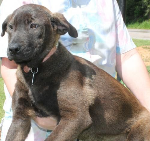 Meet CeCe 22220, a Petfinder adoptable Labrador Retriever Dog | Prattville, AL | CeCe is a 4-month-old female Lab/Collie mix. She is a gorgeous cocoa color of solid brown. CeCe...