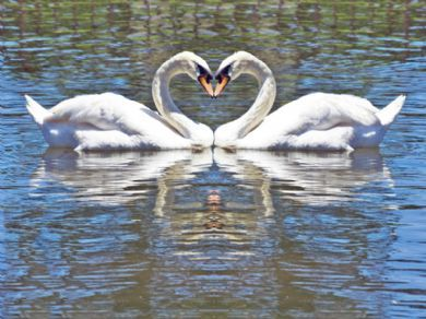 Swans of Terrace Heights