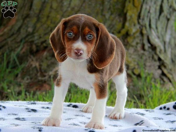 Beagle Puppies For Sale In Indiana Zoe Fans Blog With Images