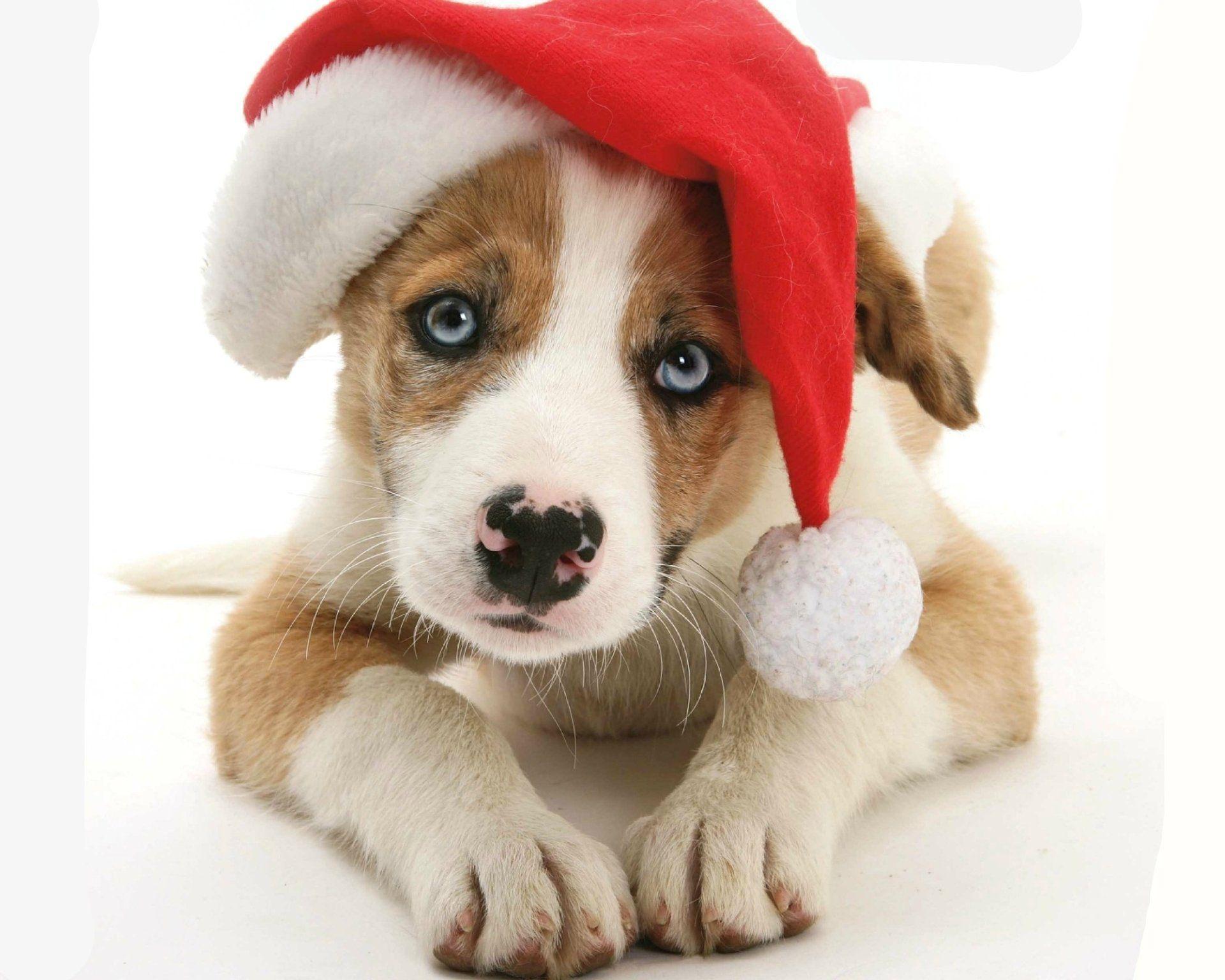 Animal Puppy Muzzle Animal Dog Cute Santa Hat Christmas