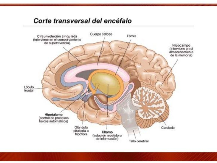 sistema limbico anatomia - Buscar con Google | anatomía general ...