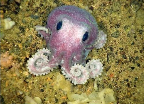 octopuses actually do make gardens by collecting stones and shiny