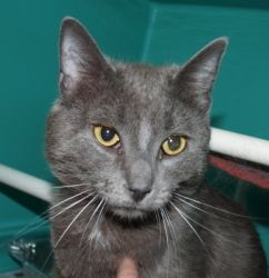 Bushes is an adoptable Russian Blue Cat in Genoa, IL.  ...
