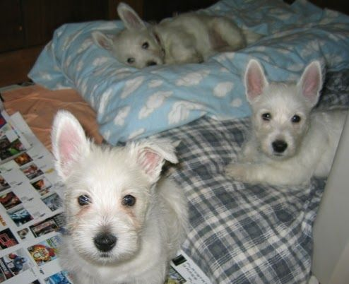 West Highland White Terrier Puppies For Sale Cairn Terrier