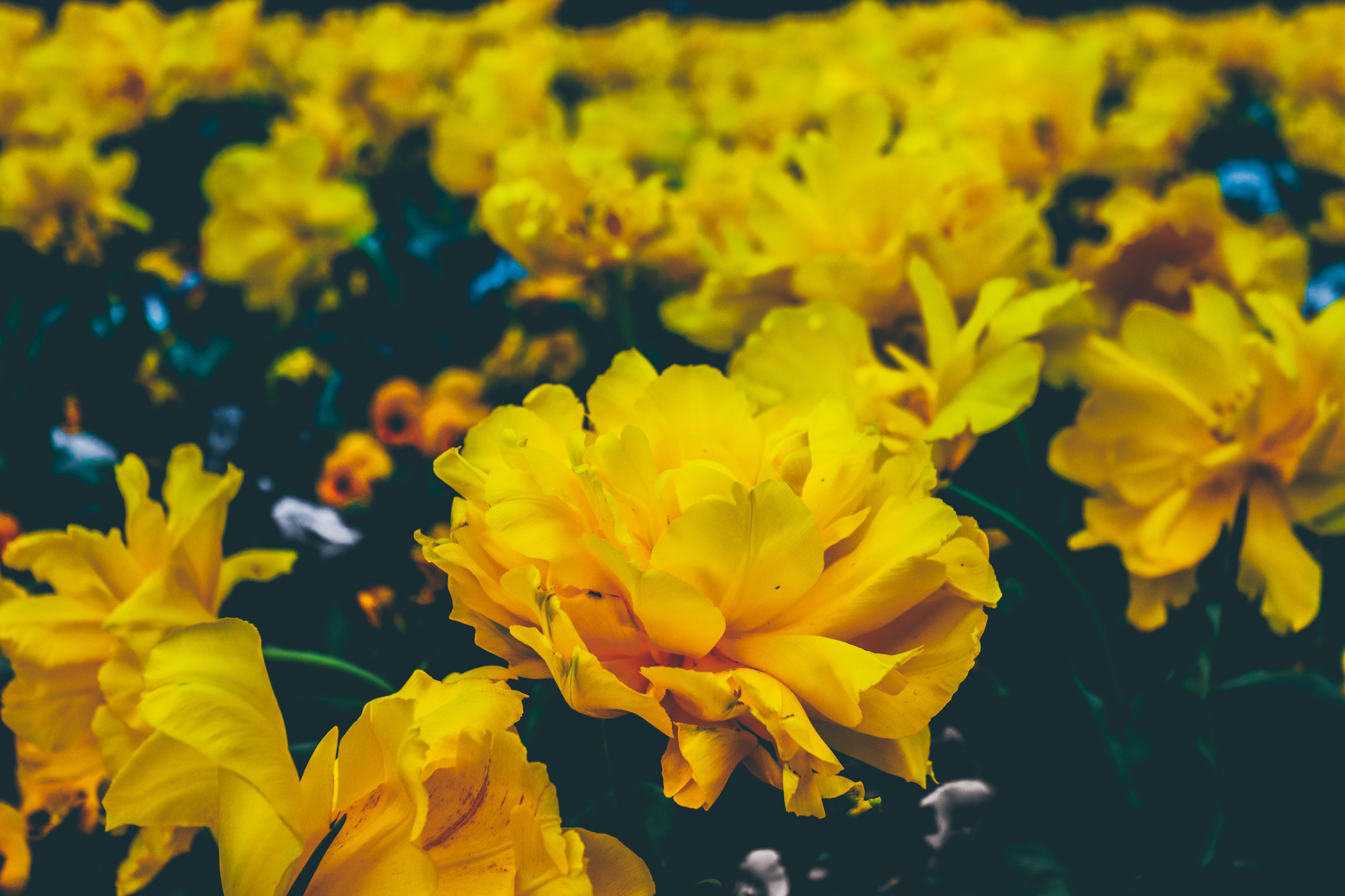 Yellow Flowers Wallpapers Pc Yellow Flowers Images In Special Aesthetic Wallpapers Yellow Wallpaper Laptop Wallpaper Desktop Wallpapers