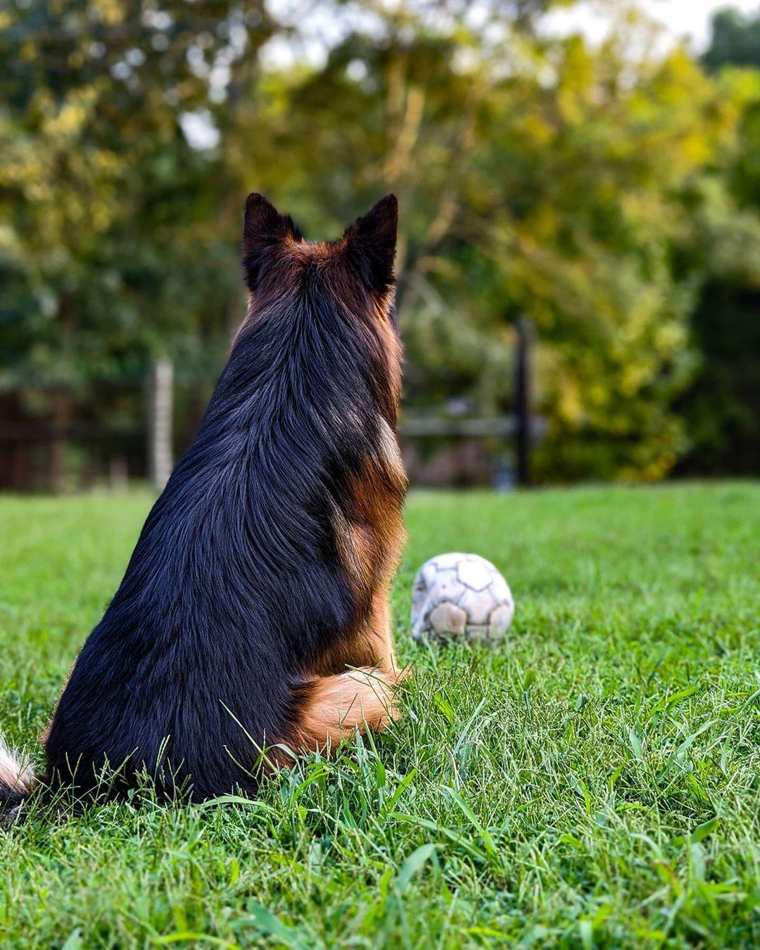 Enjoying the fall afternoon 🍃🐾 _________________________________________ #fall #playtime #dogtime #sunset #fallvibes #petstagram #petsofinstagram #dogstagram #doglovers #dogsofinsta #doglifeisgood #dogsofinstagram #dogmom #gsdofinstagram #gsdlife #gsdlovers #gsdstagram #gsdofig #gsd #gsddaily #germanshepherdsofinstagram #germanshepherdofig #germanshepherddog #germanshepherd #germanshepherdlovers #longhairedgsd #longhairedgermanshepherd #germanshepherdcentral #germanshepherds #gsdnation