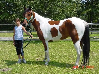 Sweet Brave Haley Paint Horses For Sale Horse Painting Horses