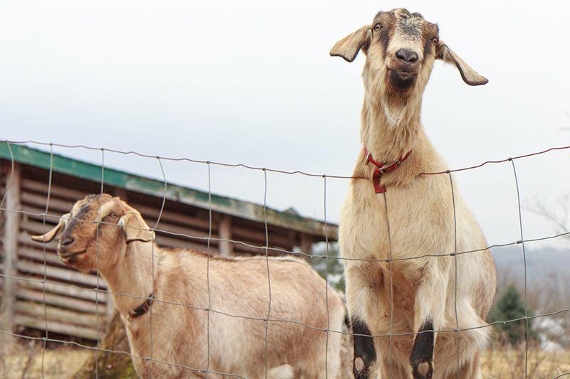 Goat Farming Business Plan Hobby Farms Raise goats for
